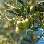 Época de aplicar potasio en el cultivo del olivar