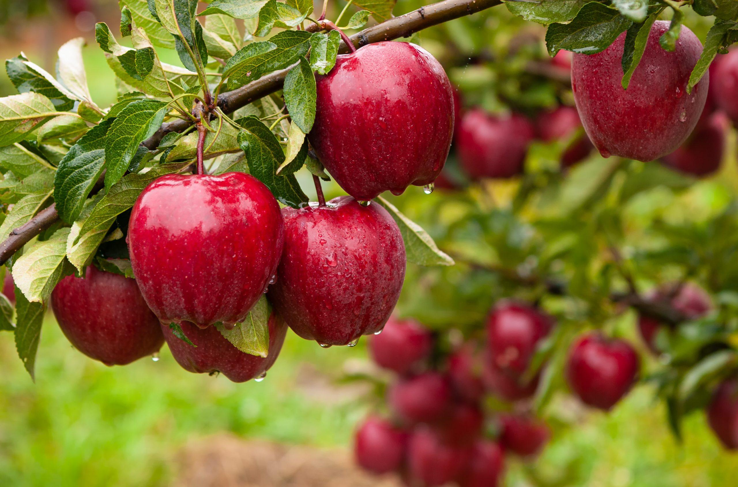¿Necesitan los frutales de hoja caduca la aplicación de fertilizantes después de la recolección?